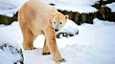 Knut-jääkarhu täytti neljä vuotta.