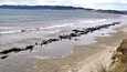 Uuden-Seelannin Wellingtonissa rannalle ajautuneista pääpallovalaista yli 100 kuoli.