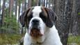 Kolmevuotias bernhardilaisuros Viljo löytyi sunnuntaina kuolleena metsästä.