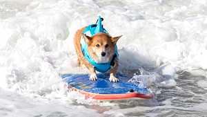 Kuvat: Koirasurffaajat kesyttivät aaltoja Kaliforniassa