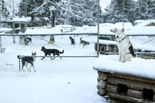 Vieraiden saapuessa Myllykankaan pihalla alkaa elämöinti: koirat haukkuvat, kiertävät tarhojaan ja tarkkailevat tulijoita. Ehkä ne pohtivat, josko kohta pääsisi vetämään valjakkoa.