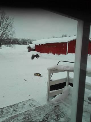 Kotka riepotteli kissaa Kuukasjärven kylässä.