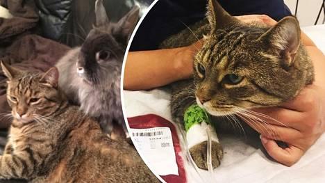 Sankarikissa Kaneli on pelastanut hädässä olevia kissoja – tiesitkö, että sinunkin kissasi voi auttaa?
