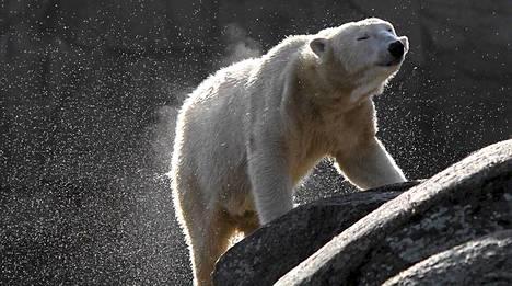 Knit-jääkarhu oli Berliinin eläintarhan vetonaula.