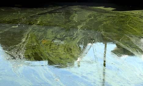 Levät voivat muodostaa veteen lauttoja.