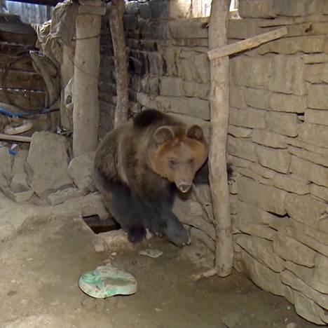 Kun Riku-karhu löydettiin, se oli kytketty alle metrin mittaisella metalliketjulla kiinni vajan seinään.