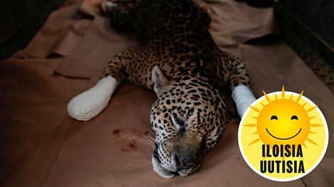 Vielä reilu kuukausi sitten Ousado-jaguaari oli heikossa kunnossa. Nyt tilanne on toinen.