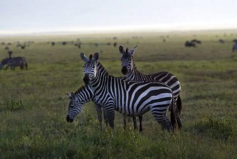 Seeproja Ngorongoron kraaterissa Tansaniassa vuonna 2003.