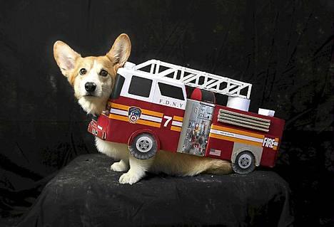 Harry-corgi oli puettu paloautoksi.