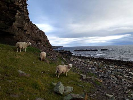 Varanginvuonon parhaita lintupaikkoja ovat Ekkerøy ja Hornøya. Ekkerøyn rinteillä tapaa myös lempeitä lampaita.