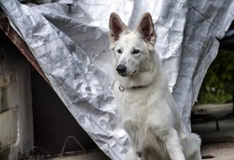 """""""Mielestäni on tärkeää tehdä koiran kanssa jotakin hyödyllistä, että ehkä jonain päivänä se voi pelastaa sen kadonneen mummon tuolta"""", Laura Luotonen sanoo."""