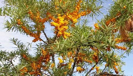 Tyrnimarjat kasvavat ryppäissä pensaan oksilla.