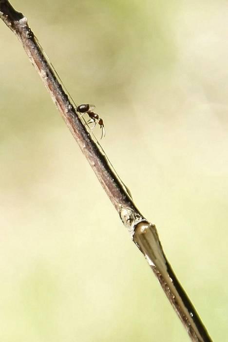 Kauhajoen sääprofeetta ennustaa säätä muun muassa muurahaisten ja koivunoksien avulla.