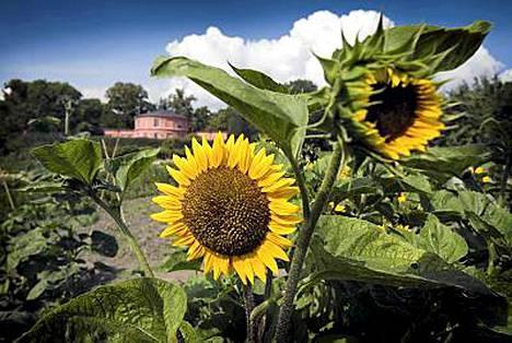 Tukholman Djurgårdenin Rosendal on biodynaaminen puisto, jossa on mukava vaellella syyssatoa ihaillen.