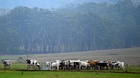 Lehmiä sateisella laitumella Nowrassa Uudessa Etelä-Walesissa.