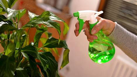 Kuolevatko huonekasvisi aina? Nämä kasvit säilyvät vähäiselläkin hoidolla