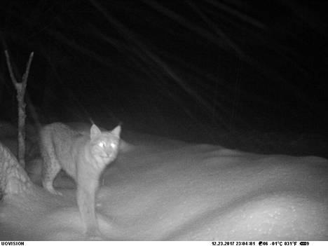 Kimmo Kauppisen riistakameraan taltioituneessa otoksessa ilves vaeltaa lumituiskussa.