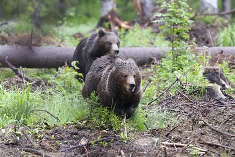 Legendan ottama legendaarinen kuva. Hannu Siitonen ikuisti kohti juosseet kaksi karhua lähietäisyydeltä vuonna 2010.