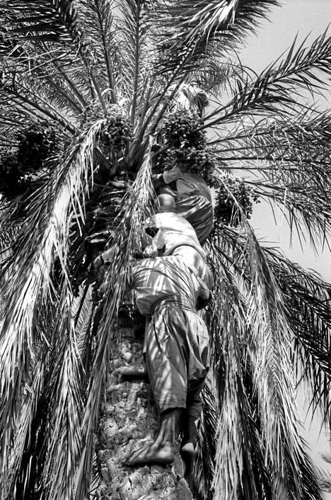 Kekkonen kiipesi taatelipalmuun Tunisiassa vuonna 1965.