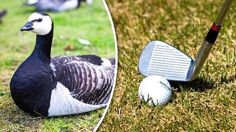Raaka video hanhen mestaamisesta golfmailalla aiheutti kohun – linnun tappanut suomalaismies välttyi syytteeltä