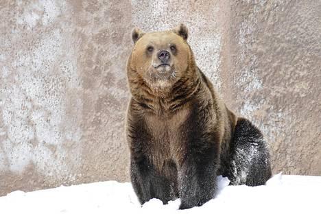 Karhuäiti Mimmi malttoi tulla vain hetkeksi ulos pentujensa luota.
