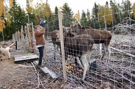 Markku Harju antaa porkkanoita ja omenoita aikuisille hirville Olgalle, Merville ja Helgelle.