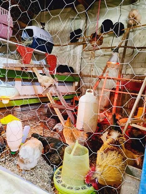 Lapsiperheen lisäksi Villa Koivumäkeä asuttavat vuohet, lampaat kanat, ankat, puput, kolme minipossua sekä koirat ja kissa. Suurin osa eläimistä on tullut taloon eläinsuojelullisista syistä.