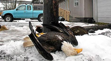 25-vuotias valkopäämerikotka kuoli sähkötolpasta saamaansa sähköiskuun kalasäilyketehtaan pihalla Kodiakissa Alaskassa.
