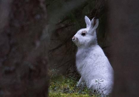 Ellei sää muutu talvisemmaksi, Petri Ahlrothin kuvaamalla metsäjäniksellä on suuri riski päätyä petoeläinten ravinnoksi.