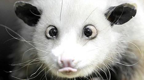 Heidi-opossumin katse on hypnoottinen.