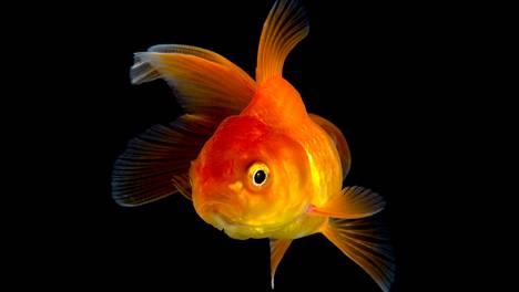 Onko kultakala kohta älykkäämpi kuin informaatiotulvan kyllästämä ihminen?