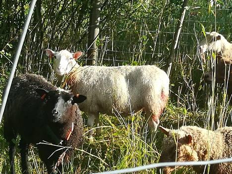 Monista elossa olleista lampaista löytyi puremajälkiä.