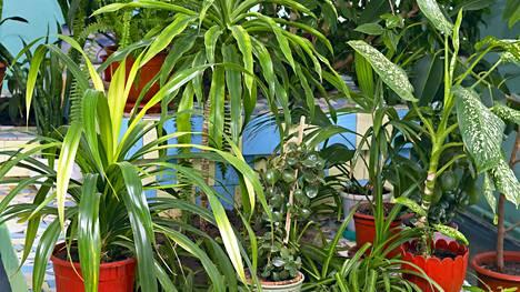 Tuntuuko kaikkien erilaisten viherkasvien hoitaminen hankalalta?