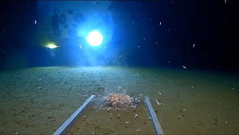 Mereneläviä uimassa Mariaanien haudan pohjalla, lähes 11 kilometrin syvyydessä.