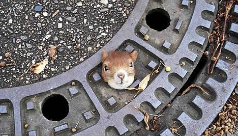 Orava jäi kiinni kaivonkanteen Hannoverissa.