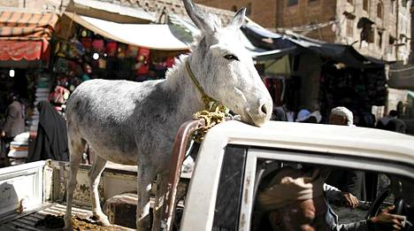 Aasi saa kyytiä. Tätä nelijalkaista eläintä kyyditään myytäväksi torille Sanaan kaupungin vanhaan osaan tiistaina.
