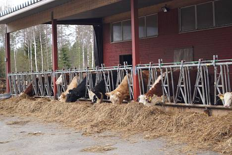 Mari ja Urho Puustisen Navettavalkean tilalla on satakunta emolehmää. Tilan pelloille majoittuneet valkoposkihanhet tekevät mittavaa tuhoa karjan rehutuotannolle.