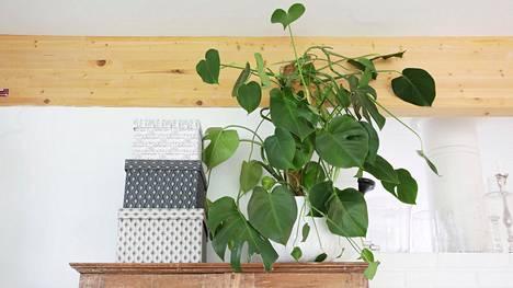 Peikonlehti miellyttää sekä miehiä että naisia, kertoo Biolanin kysely. Talvella huonekasvien hoitoon kannattaa satsata muun muassa vähentämällä kastelua.
