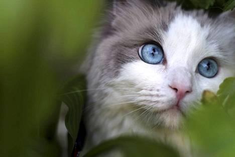 Suomen suosituin kissarotu, ragdoll.