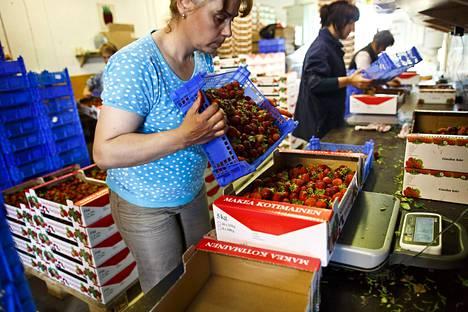 Hedelmä- ja marjanviljelijäin liiton mukaan työvoimatarve marjatiloille on kevään aikana yli 3000 henkilöä ja sadonkorjuuvaiheessa noin 15 000 henkilöä.
