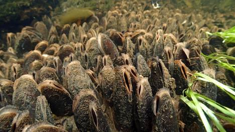 Raakkuja eli jokihelmisimpukoita puron pohjassa.