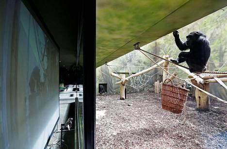 """Dvur Kraloven Safari Parkissa asuva simpanssi viihdytti itseään tiistaina seuraamalla lajitoveriensa liikkeitä """"etäpalaverissa""""."""