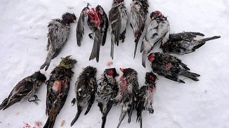 Luontokuvaaja Lassi Kujala kuvasi verisiä urpiaisia hangella.