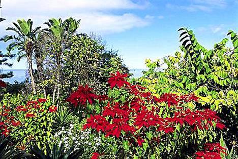 Villi joulutähti kuuluu myös gomeralaiseen maisemaan.