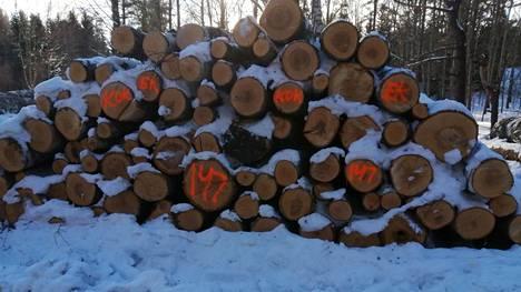 Espoon kaupungin kaatamia puita pinossa Toppelundissa. Puihin maalatut punaiset merkinnät ovat puunostajaa tai puutavaranhakijaa varten. Huonokuntoinen puu päätyy teollisuuden käyttöön.
