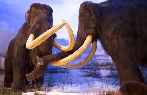 Villamammutit elivät pohjoisella pallonpuoliskolla viimeisen jääkauden aikana. Ne ovat Muutosta ilmassa -näyttelyn vetonauloja.
