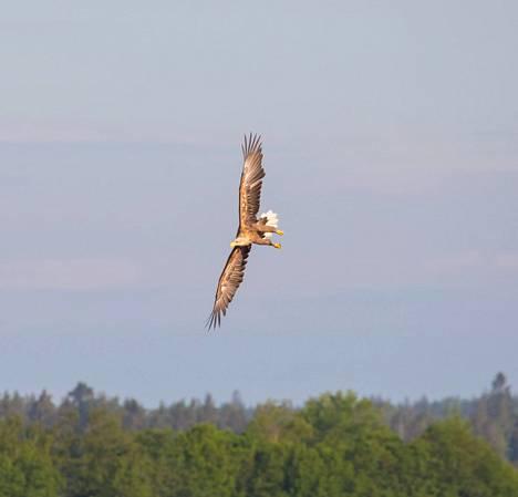 Merikotkan majesteettinen lento tallentui kameralle Espoossa kuluvan vuoden keväällä.