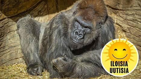 San Diegon eläinpuistossa asuva Winston-gorilla on toipumassa koronaviruksen aiheuttamasta taudista.