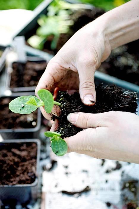 6. Taimet koulitaan, kun juuria on niin paljon, että ne pilkottavat ruukun tai siemenastian pohjasta ja kasvi on tehnyt lehden tai pari sirkkalehtien lisäksi.