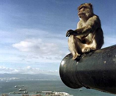 Gibraltarin viranomaiset aikovat tappaa ainakin 25 niemimaan kuuluisista makakiapinoista.